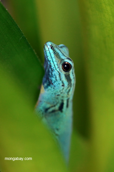 Blue Day Gecko (Lygodactylus williamsi)