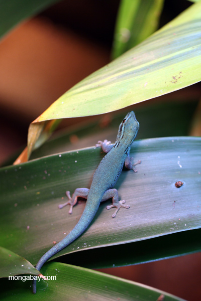 Neon Blue Day Gecko (Lygodactylus williamsi)