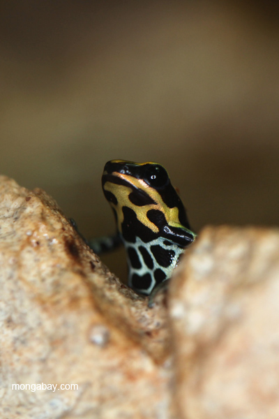 Ranitomeya ventrimaculata poison arrow frog