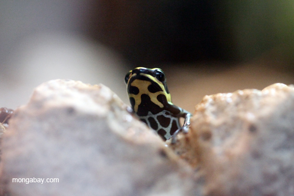 Ranitomeya ventrimaculata poison frog