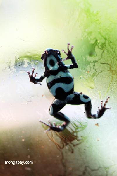 Green and black poison frog (Dendrobates auratus)