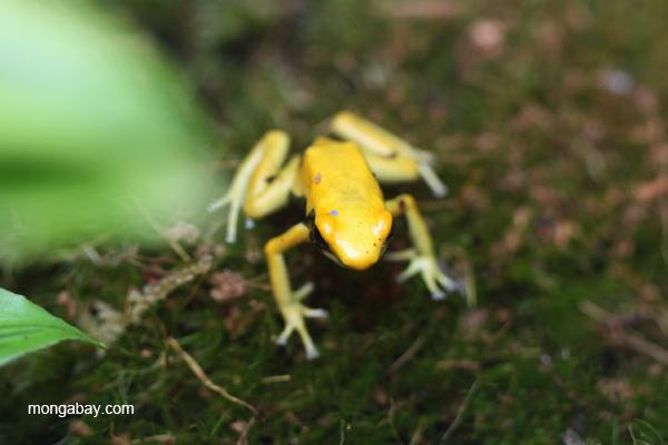 Golden Matecho dart frog (Dendrobates tinctorius)