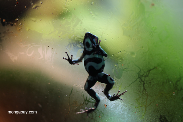 Green-and-black poison arrow frog