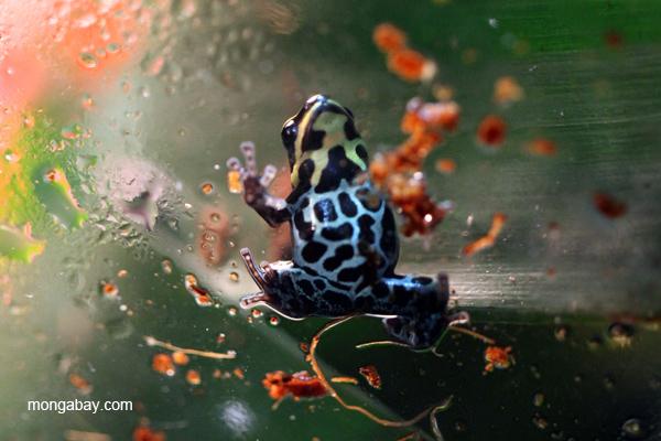Reticulated poison dart frog (Ranitomeya ventrimaculata)