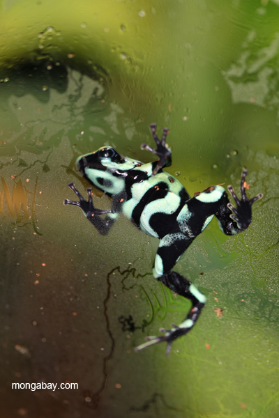 Green and black dart poison frog