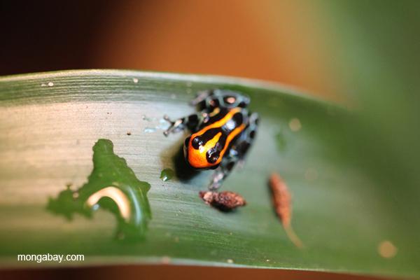 Reticulated poison dart frog 'Blackwater' morph