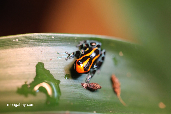 Reticulated poison dart frog (Ranitomeya ventrimaculata) 'Blackwater' morph