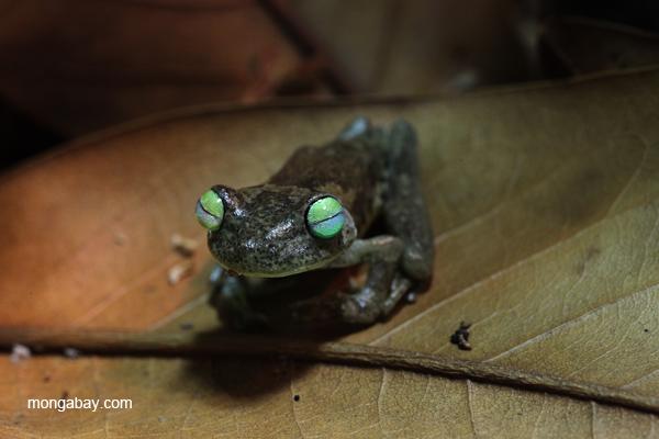 Blue-toed treefrog (Hypsiboas crepitans)