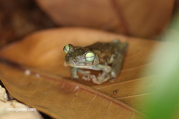 Emerald-eye Treefrog (Hypsiboas crepitans)