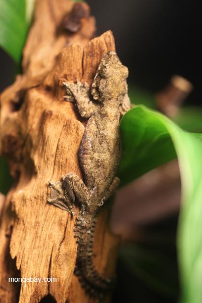 Kuhl's Flying Gecko