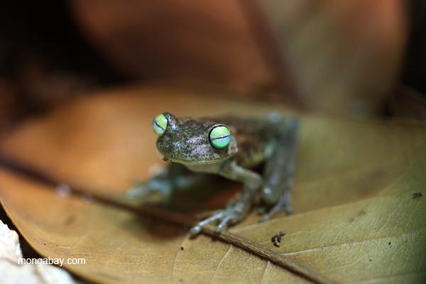 Emerald eyes frog (Hypsiboas crepitans)