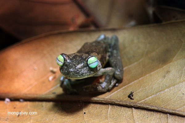 Blue-toes frog (Hypsiboas crepitans)