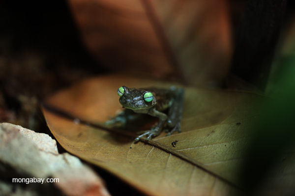 Emerald-eye frog (Hypsiboas crepitans)