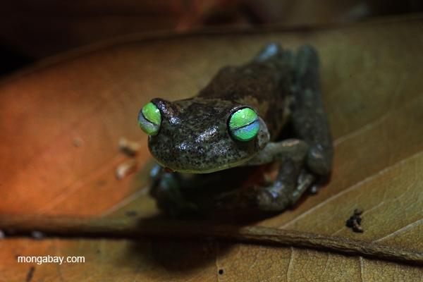 Emerald-eyed Treefrog (Hypsiboas crepitans)