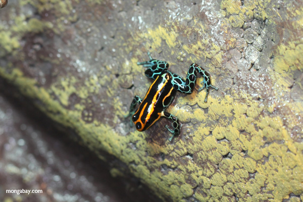 Reticulated Poison Frog (Ranitomeya ventrimaculata)