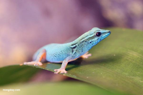 Williams' blue dwarf gecko