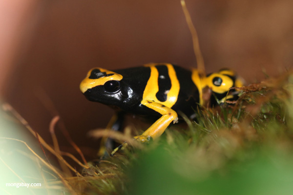 Yellow-and-black dart frog