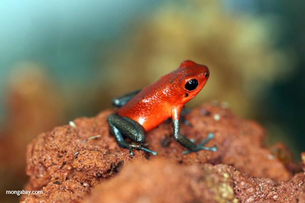 Almirante strawberry dart frog (Oophaga pumilio)