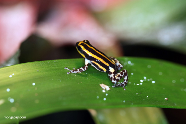 Pasco poison arrow frog (Ranitomeya lamasi)
