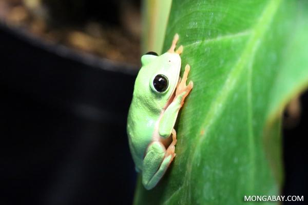 Black-eyed tree Frog
