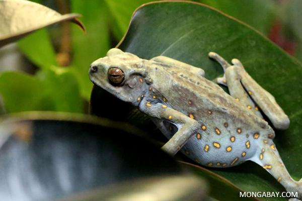 Pedostibes hosii climbing toad