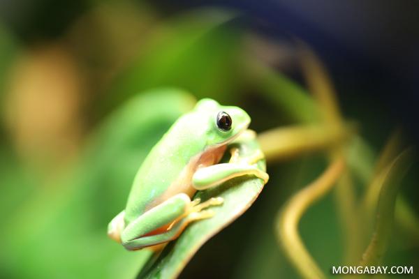Popeye leaf frog (Agalychnis moreletii)