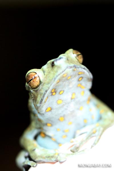Female Pedostibes hosii climbing toad