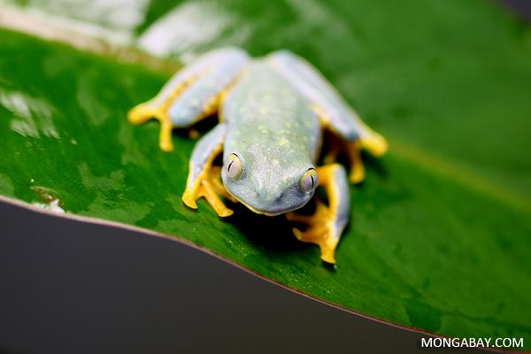 Splendid Tree frog