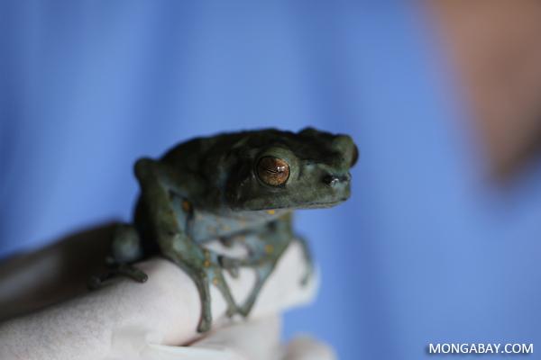 Borneo climbing toad