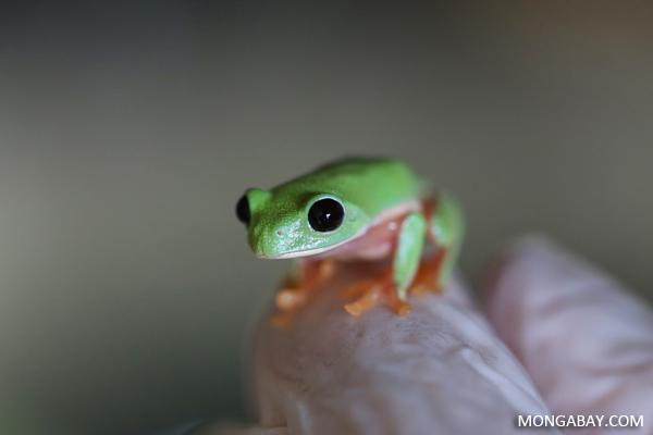 Black-eyed Leaf Frog