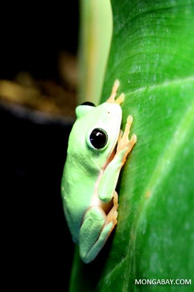 Black-eyed Leaf Frog (Agalychnis moreletii)