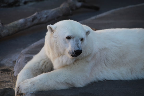 Captive polar bear. Given the rising threat of climate change to many of the world's species, including polar bears, how should zoos address the issue? Photo by: Rhett A. Butler.