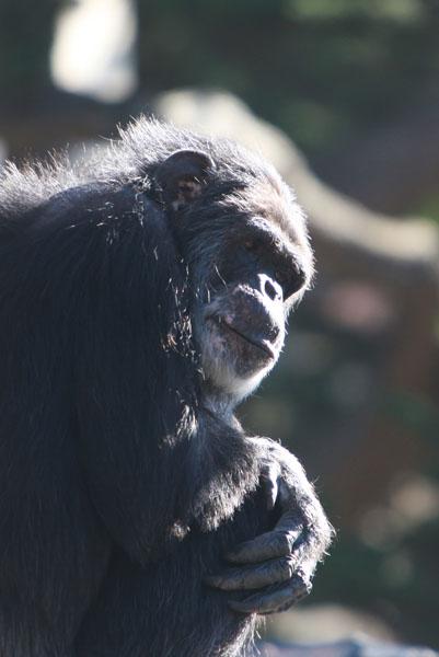 Chimpanzee in captivity