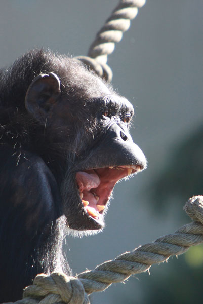 Chimpanzee in captivity