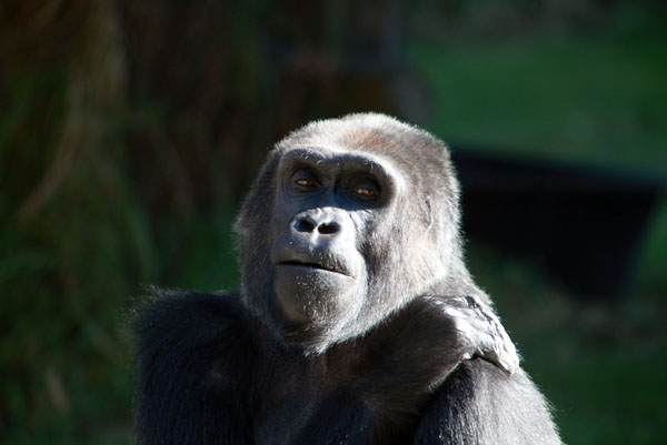 scientists study forgiveness in great apes The great apes are our closest extant relatives, and it is incredibly important to study, protect, and conserve them however, we can't use their title as closest extant relatives as a strategic.