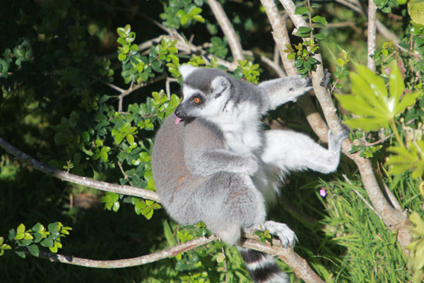 Ringtailed lemur sticking out its tongue