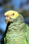 Parrot [bonito_0018]