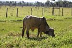 Cow in Brazil