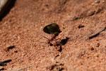 Leaf-cutter ants [bonito_0079]