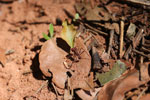 Leaf-cutter ants [bonito_0087]