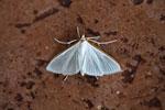 Moth [bonito_0092]