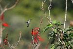 Hummingbird [bonito_0106]