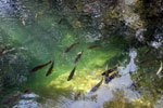 Fish in the Rio Formoso