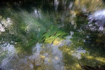 Fish in a pool in the Rio Formoso [bonito_0156]