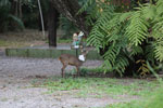 Deer [bonito_0347]