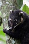 Brazilian Coati
