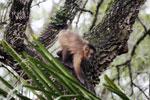 Black-striped capuchin (Sapajus libidinosus) [bonito_0379]