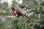 Black-striped capuchin (Sapajus libidinosus) [bonito_0384]