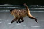 Black-striped capuchin (Sapajus libidinosus) [bonito_0393]