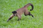 Black-striped capuchin (Sapajus libidinosus) [bonito_0394]